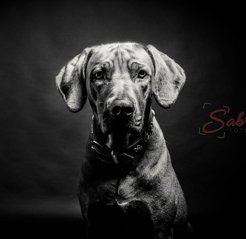 Hundeshooting schwarz weiß - Sabrina's Fotostudio in Hamminkeln, zwischen Wesel und Bocholt am Niederrhein