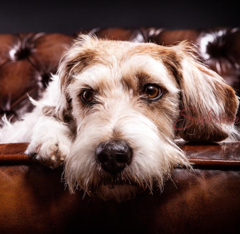 Hundeshooting auf Ledersofa - Sabrina's Fotostudio in Hamminkeln, zwischen Wesel und Bocholt am Niederrhein
